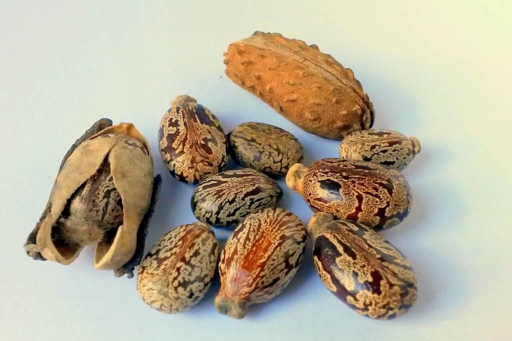 semillas de ricino